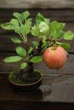 盆景苹果树 库存照片