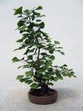 盆景银杏树结构树 免版税图库摄影