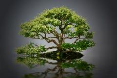盆景 免版税图库摄影