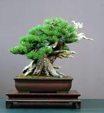 盆景mugo杉木 免版税库存图片