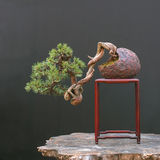 盆景mugo杉木 免版税图库摄影