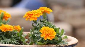 盆的万寿菊在庭院里 免版税库存照片