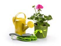 盆的天竺葵花和园艺工具在白色 图库摄影