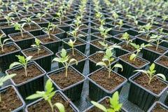 盆的幼木行自温室 免版税图库摄影
