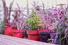 盆的庭园花木用草本、菜、有机豆,葱和许多健康饮食的 免版税库存照片