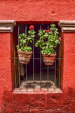 盆的植物和红色背景 免版税库存照片