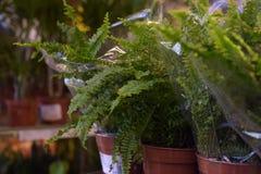 盆的植物待售在宜家商店 图库摄影