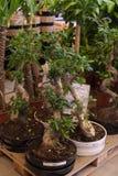 盆的植物待售在宜家商店 免版税库存照片