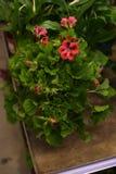 盆的植物待售在宜家商店 免版税库存图片