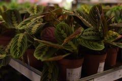 盆的植物待售在宜家商店 库存照片