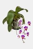 盆的樱桃色色的兰花植物兰花绿色叶子和根 库存照片