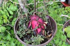 盆的红色花叶子 免版税库存图片