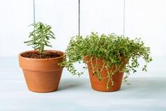 盆的草本 泥罐的罗斯玛丽和麝香草植物 免版税库存图片