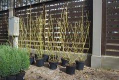 盆的金黄枝杈山茱萸(萸肉sericea 'Flaviramea')在种植前, 库存照片