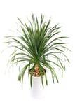 盆的龙血树属植物 免版税库存图片