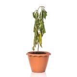 盆的绿色死的植物 beeing的概念连接集中查出的射击工作室包围的技术白色 免版税库存图片