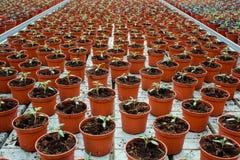 盆的莴苣生长自温室的大量 免版税库存照片
