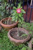 盆的Adenium红色花在春武里市,泰国 库存照片