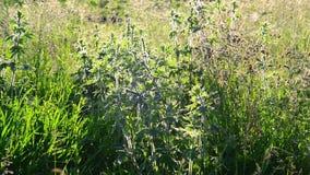 益母草属cardiaca -家庭一棵草本四季不断的植物  影视素材