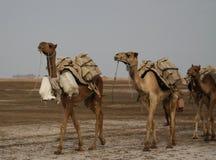 盐平板骆驼, Karum湖,在远处Danakil埃塞俄比亚的运输 库存图片