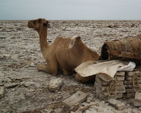 盐平板骆驼, Karum湖, Danakil,在远处埃塞俄比亚的运输 图库摄影
