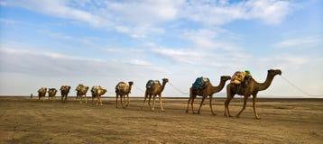 盐平板骆驼, Karum湖, Danakil,在远处埃塞俄比亚的运输 免版税库存图片
