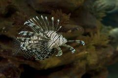 盐水狮子鱼 库存图片