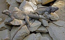 盐腌的鬣鳞蜥2 图库摄影