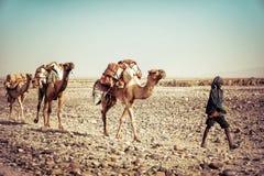 盐骆驼在Dallol, Danakil消沉,埃塞俄比亚 免版税库存照片