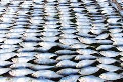 盐鲭鱼在阳光下保护的 免版税库存照片