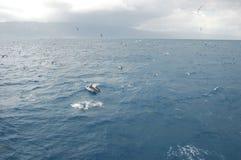 盐水海豚秀丽使用在大西洋的 免版税库存照片