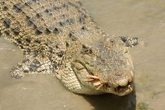 盐水鳄鱼哺养 免版税库存图片
