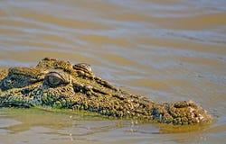 盐水鳄鱼在内地澳大利亚 免版税库存照片