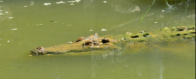 盐水鳄鱼面孔游泳在河 库存图片