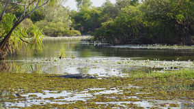 盐水鳄鱼,黄河,澳大利亚 免版税库存照片