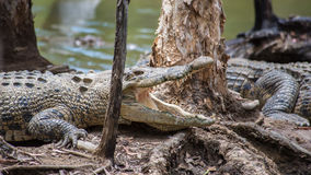 盐水鳄鱼, QLD,澳大利亚 免版税库存照片