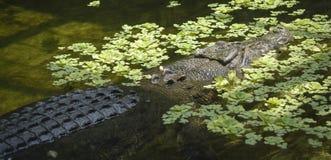 盐水鳄鱼 免版税图库摄影