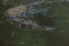 盐水鳄鱼 免版税库存照片