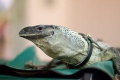 监控蜥蜴 免版税库存图片