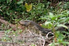 监控蜥蜴在坦桑尼亚 库存图片