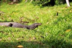 监控蜥蜴在斯里兰卡 免版税库存图片