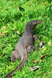 监控蜥蜴在斯里兰卡 图库摄影