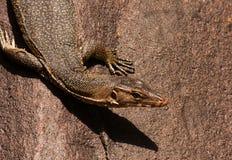监控蜥蜴坐石头 免版税库存照片
