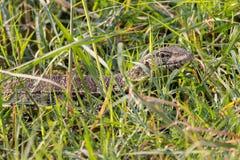 监控蜥蜴被伪装在杂草 库存图片