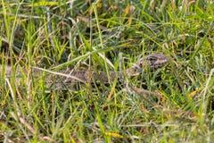 监控蜥蜴被伪装在杂草 图库摄影