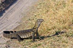 监控蜥蜴,在大草原的巨晰属niloticus 免版税库存照片