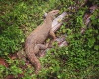 监控蜥蜴,斯里兰卡 免版税图库摄影