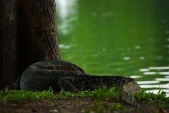 监控蜥蜴, Lumpini公园,曼谷 库存照片