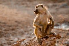 监视狒狒 免版税库存照片