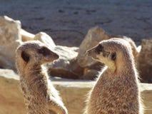 监视meerkat 免版税库存图片